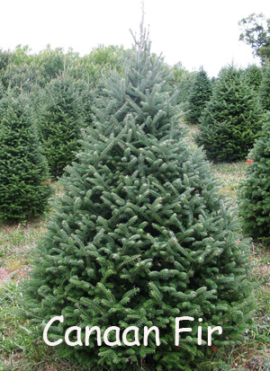 Best Christmas Trees To Grow